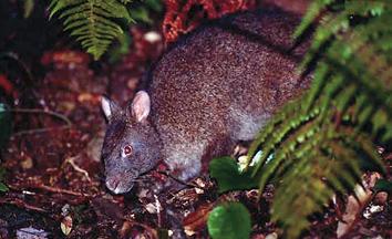 アマミノクロウサギの画像 p1_7